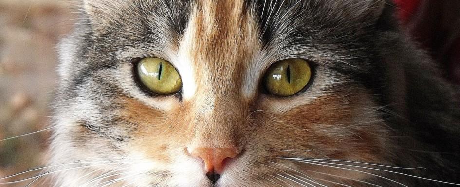 Calico-Siberian-Cat
