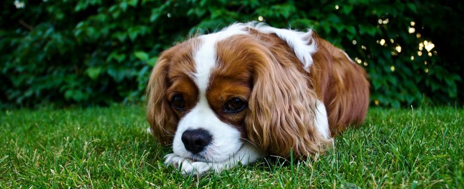doggrass